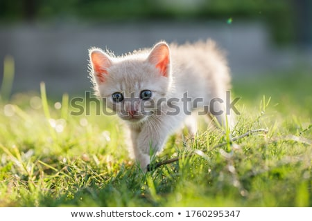 kittens outdoors in a green meadow of grass stock photo © tobkatrina