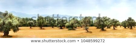 Olijfolie bosje boom natuur blad bladeren Stockfoto © LianeM