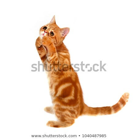 Exotic shorthair cat. Cute tabby kitten playing on white backgro Stock photo © EwaStudio
