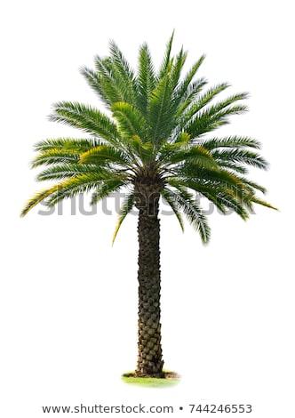 sugar palm tree isolated stock photo © smuay