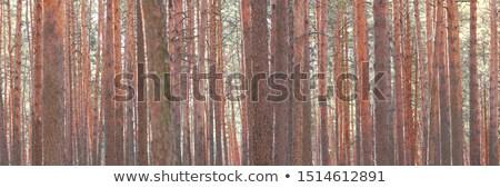 beautiful colored pine bark Stock photo © taviphoto