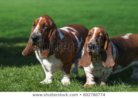 bunny and basset hound Stock photo © willeecole