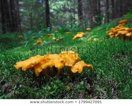 Ehető gomba közelkép étel fa természet Stock fotó © OleksandrO