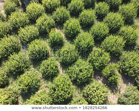 fila · alberi · Australia · rurale · farm · primavera - foto d'archivio © taiga