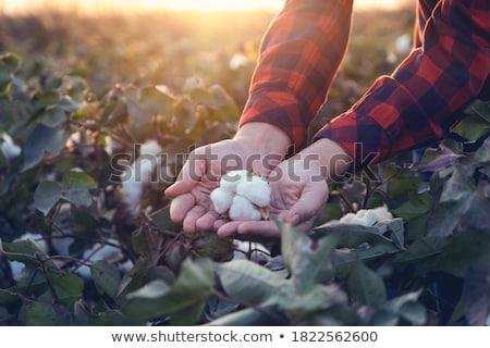 Green cocoon in farmers hand Stock photo © simazoran
