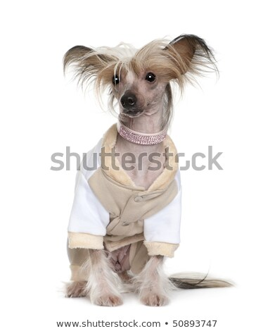chinese crested dog sitting in a photo studio Stock photo © vauvau