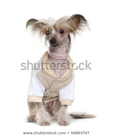 chinese crested dog sitting in a photo studio stock photo © vauvau