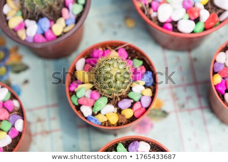 Cactus in pot and small balloons Stock photo © mady70
