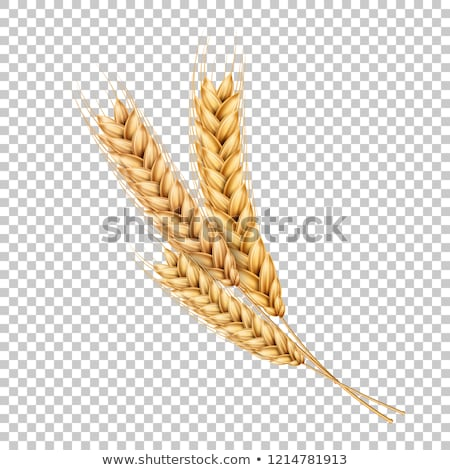 Background with wheat spikelets, vector illustration. Stock photo © kup1984