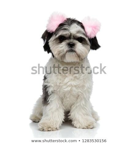 furry shih tzu wearing pink earmuffs sitting Stock photo © feedough