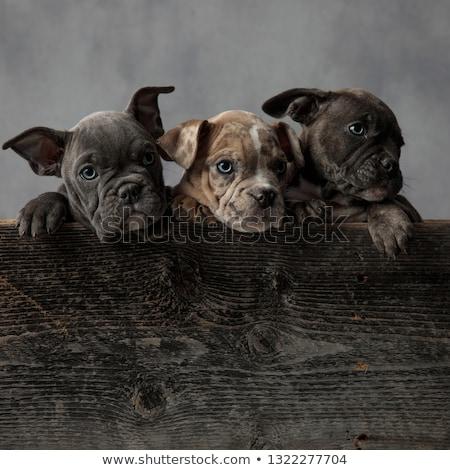 3 ·  · 愛らしい · アメリカン · 子犬 · 木製 · ボックス - ストックフォト © feedough