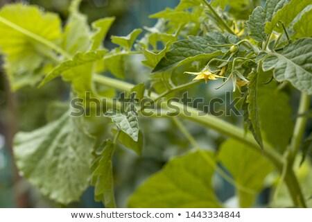 Paradicsom születés virágzik sárga virág friss nyár Stock fotó © romvo