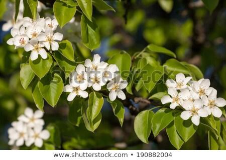 Armut ağaç beyaz çiçekler yeşil bahar Stok fotoğraf © vapi