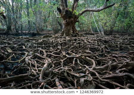 network of roots from large old tree stock photo © morrbyte