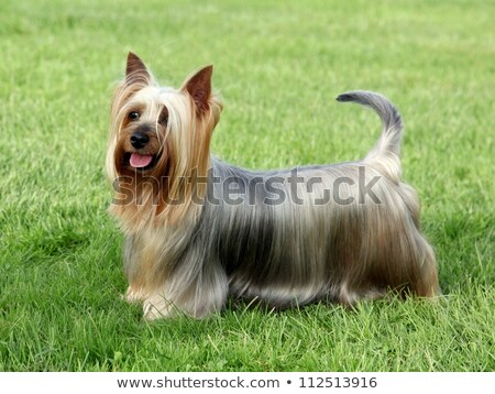 Australian Silky Terrier on a green grass lawn Stock photo © CaptureLight
