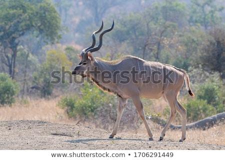 portret · woestijn · Botswana · reizen · vlees · park - stockfoto © dirkr