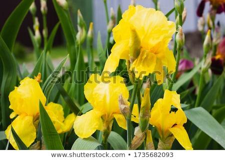 Geel iris bruin bloem voorjaar Stockfoto © vanessavr