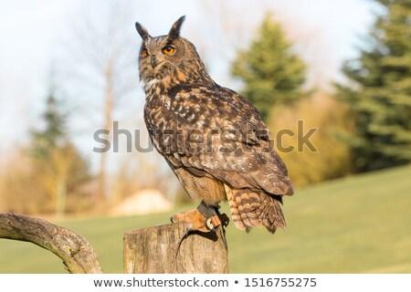Magnífico coruja olho cara natureza pássaro Foto stock © chrisga