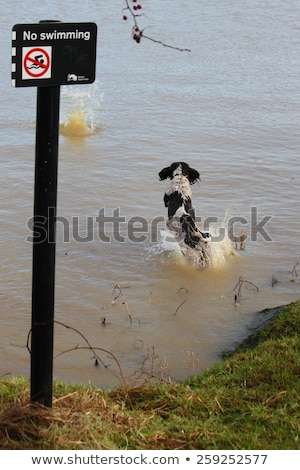 Photo stock: Working Type English Springer Spaniel Pet Gundog Jumping An Agil