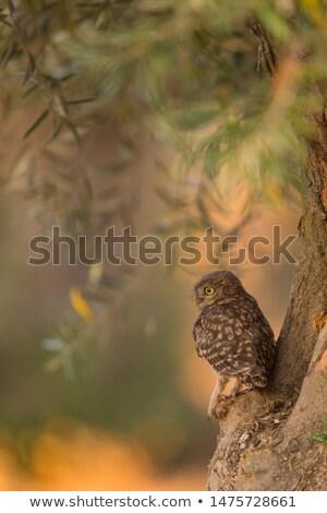 Belle chouette portrait oiseau plumes cute Photo stock © jarin13