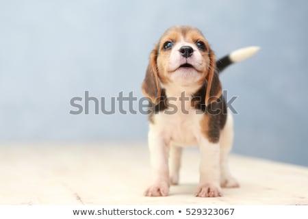Beagle cachorro blanco triste jóvenes oído Foto stock © Fesus