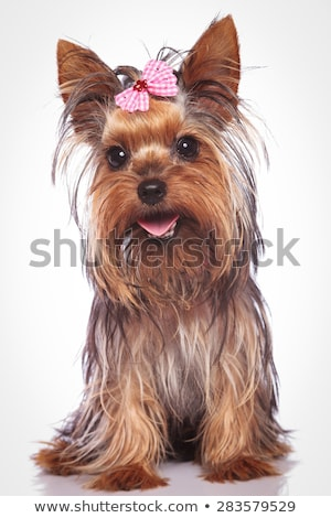 closeup of a panting yorkshire terrier puppy dog stock photo © feedough