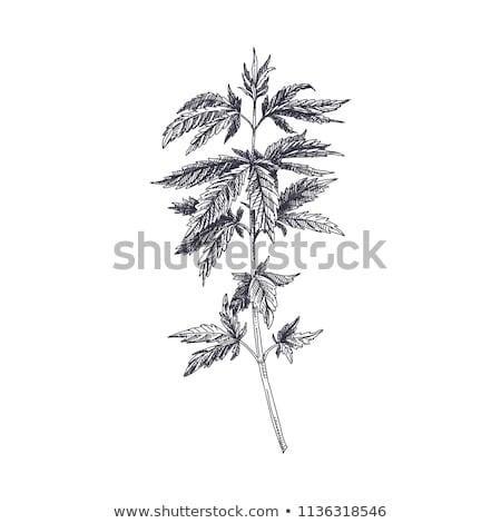 canabis · maconha · textura · folha · verde · folha - foto stock © saicle