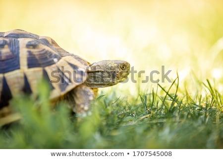 happy tortoise Stock photo © get4net