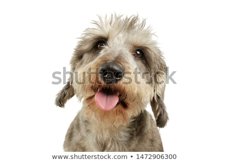 Stock photo: wired hair mixed breed dog in a white studio