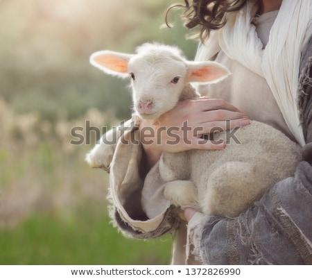 sheeps in love Stock photo © adrenalina