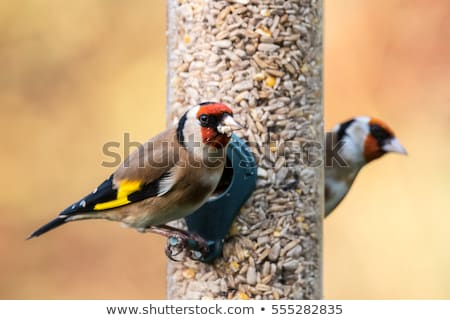 Goldfinch eating from  bird feeder Stock photo © backyardproductions