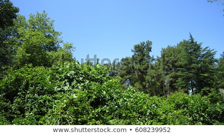 Pines and bushes with blue sky background Stock photo © Mps197