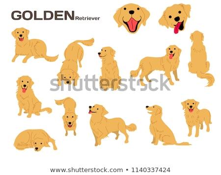 Karikatür golden retriever oturma örnek grafik evcil hayvan Stok fotoğraf © cthoman