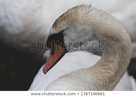 лебедя изображение весны счастливым природы искусства Сток-фото © clairev