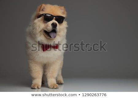 cool chow chow wearing red bowtie looks to side while standing Stock photo © feedough