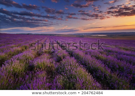 Stock photo: Lavender field under blue sky