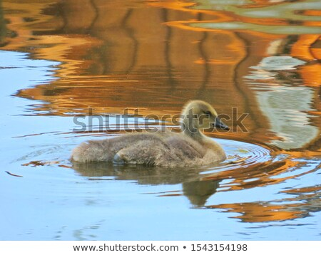 Canada geese swimming on blue water Stock photo © Musat