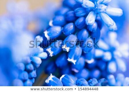 blue flowering grape hyacinth close up stock photo © julietphotography