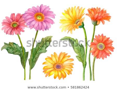 red orange and yellow gerbera flowers stock photo © zhekos