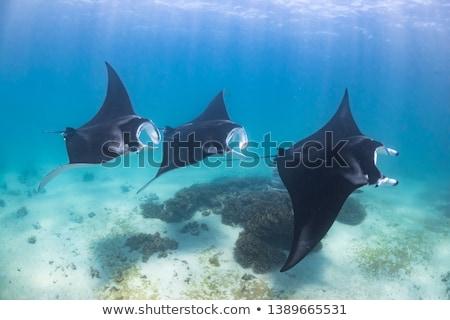 Manta Ray Stock photo © benchart