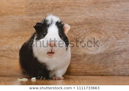 siyah · beyaz · kobay · beyaz · yüz · siyah · domuz - stok fotoğraf © taden
