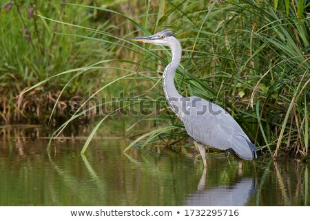 Grey Heron standing by some water.  Stock photo © meinzahn