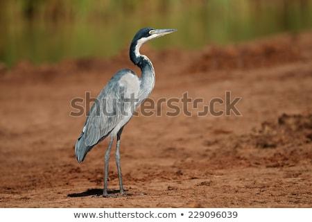 Garça-real vôo África do Sul árvore pássaro asas Foto stock © dirkr