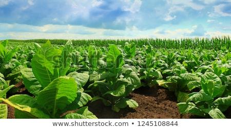 Tabacco farm verde campo casa vita Foto d'archivio © bezikus