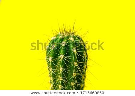 cactus dry thorns growing  Stock photo © OleksandrO