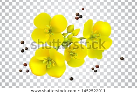 Rape canola flower isolated vector Stock photo © Hermione