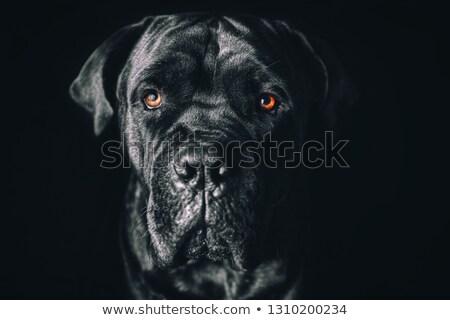 Puppy Cane Corso in white background photo studio Stock photo © vauvau