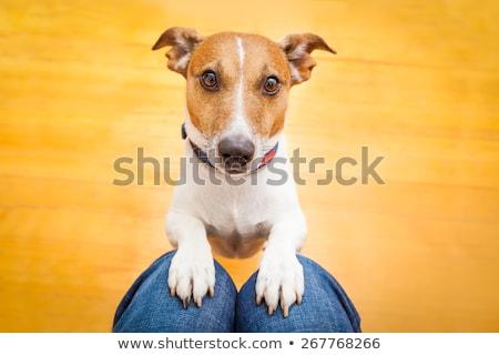 悲しい · 見 · 美しい · 犬 · ペット · 肖像 - ストックフォト © iko