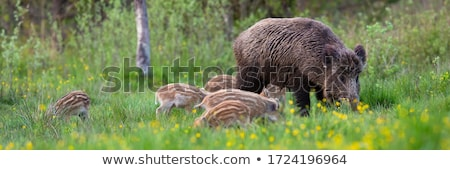 Little Boar in Love Stock photo © cthoman