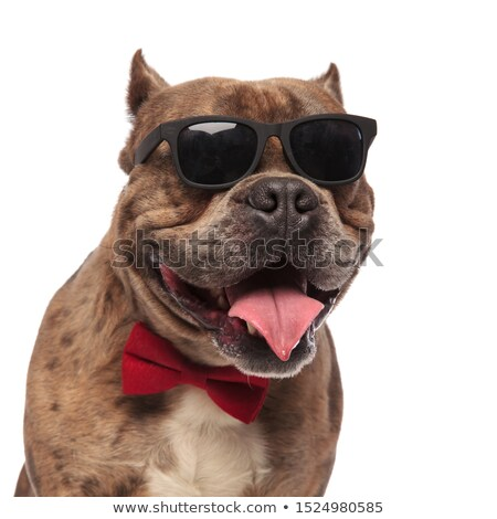 head of happy american bully wearing red bowtie panting Stock photo © feedough